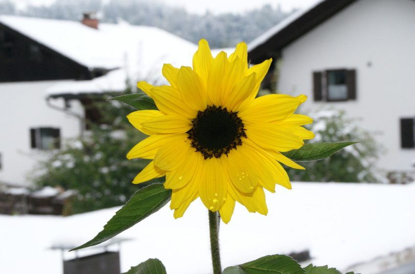 life goes off track - sunflower in snow